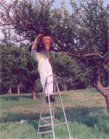 Ogrebanje roja koš obrnemo in stresemo čebele