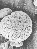 Cvetniprahlipepodmikroskopom